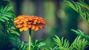 橙色花、开花百日菊属的花和绿色叶子 免版税库存图片