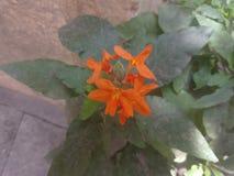 橙色花印度人 库存图片