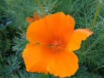 橙色花和绿色叶子在庭院里 库存图片