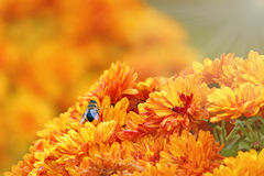 橙色花和蜂 库存图片