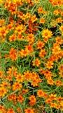橙色花和绿色叶子 免版税库存照片