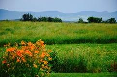 橙色花在佛蒙特我 免版税图库摄影