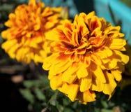 橙色花在我的秋天庭院里 库存图片