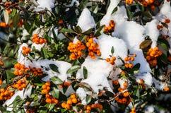橙色花揪在冬天 免版税库存图片