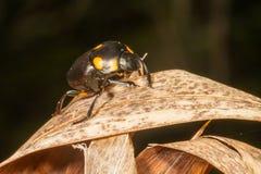 黑/橙色花甲虫 库存照片