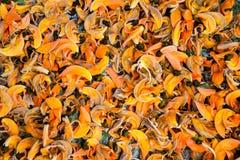 橙色花的palas 免版税库存图片