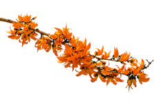 橙色花的palas 免版税库存照片