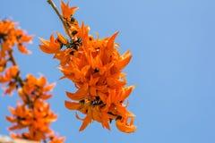橙色花的palas 免版税图库摄影
