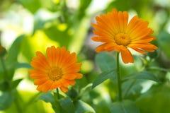 橙色花金盏草 金盏草花是用途广泛在医学 选择聚焦 免版税库存照片