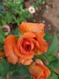 橙色花,显示地球秀丽  库存图片