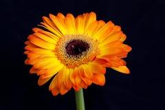 橙色花,隔绝在黑背景 图库摄影