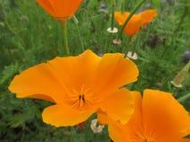 橙色花-接近  库存图片