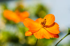 橙色花 免版税库存照片