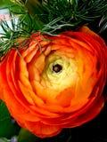 橙色花 库存照片