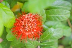 橙色茉莉花灌木 免版税库存图片