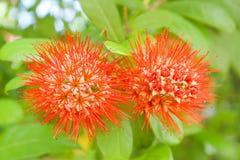 橙色茉莉花灌木 库存图片