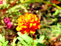 橙色菊花花 库存照片