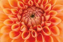 橙色菊花,美好的抽象背景花瓣、的关闭和宏指令  库存图片