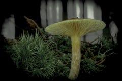 橙色蘑菇在杉木森林里 库存图片