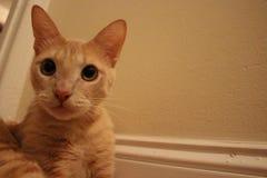 橙色虎斑猫对墙壁 免版税库存图片