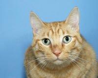 橙色虎斑猫画象在蓝色背景的 免版税库存图片