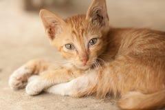 橙色虎斑猫 库存照片