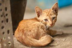 橙色虎斑猫 免版税库存图片