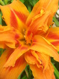 橙色虹膜 库存图片