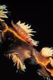 橙色虾虎鱼被伪装反对桔子和黄色珊瑚 免版税图库摄影