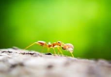 橙色蚂蚁 库存照片