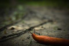 橙色蜗牛在秋天期间的森林里 免版税库存图片