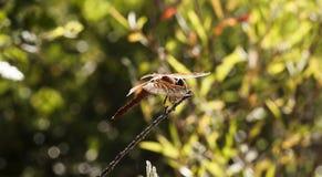 橙色蜻蜓坐枝杈绿色背景 库存图片