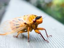 橙色蝉 免版税库存照片