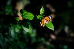 橙色蝴蝶在森林的黑暗中 库存照片