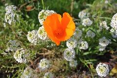 橙色蝴蝶花和日本荚莲属的植物 库存照片