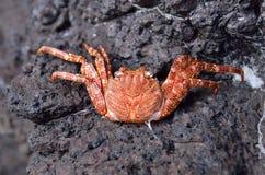 橙色螃蟹 库存照片