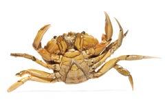 橙色螃蟹 免版税库存图片
