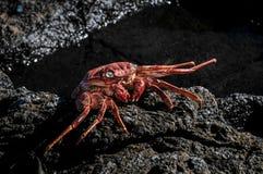 橙色螃蟹 免版税库存照片