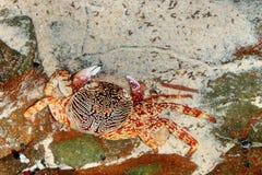 橙色螃蟹 图库摄影