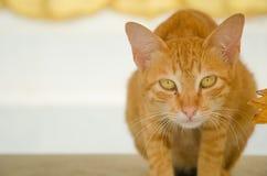 橙色逗人喜爱的猫 库存照片
