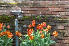 橙色郁金香和喷泉 库存图片