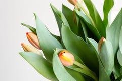 橙色郁金香和绿色叶子 图库摄影