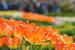 橙色郁金香在公园背景中 特写镜头 选择聚焦 库存图片