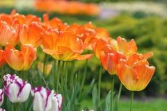 橙色郁金香在公园背景中 特写镜头 选择聚焦 免版税库存图片
