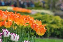 橙色郁金香在公园背景中 背景概念花春天空白黄色年轻人 特写镜头 Sel 免版税库存照片