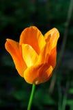 橙色郁金香在庭院里 免版税库存图片