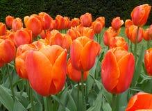 橙色郁金香在春天在Keukenhof庭院的阵雨 免版税图库摄影