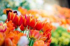 橙色郁金香在有软的焦点的春天 免版税库存图片