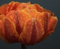 橙色郁金香在阿姆斯特丹 免版税库存图片
