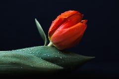 橙色郁金香用水滴下,低调在黑色 免版税库存照片